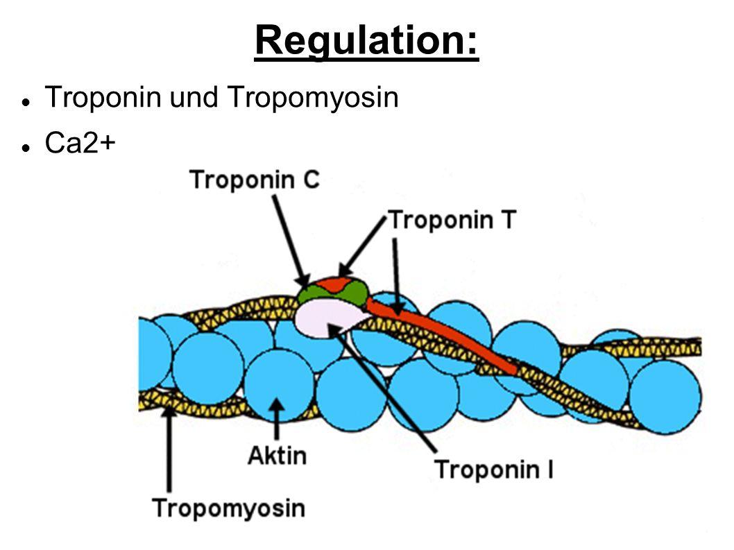 Regulation: Troponin und Tropomyosin Ca2+