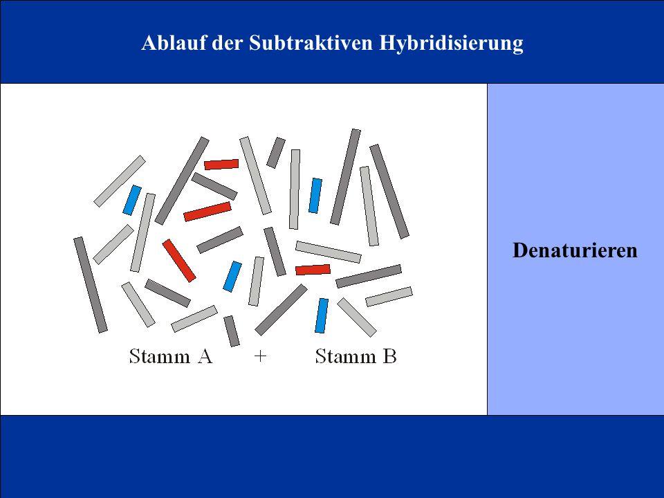 Ablauf der Subtraktiven Hybridisierung Denaturieren