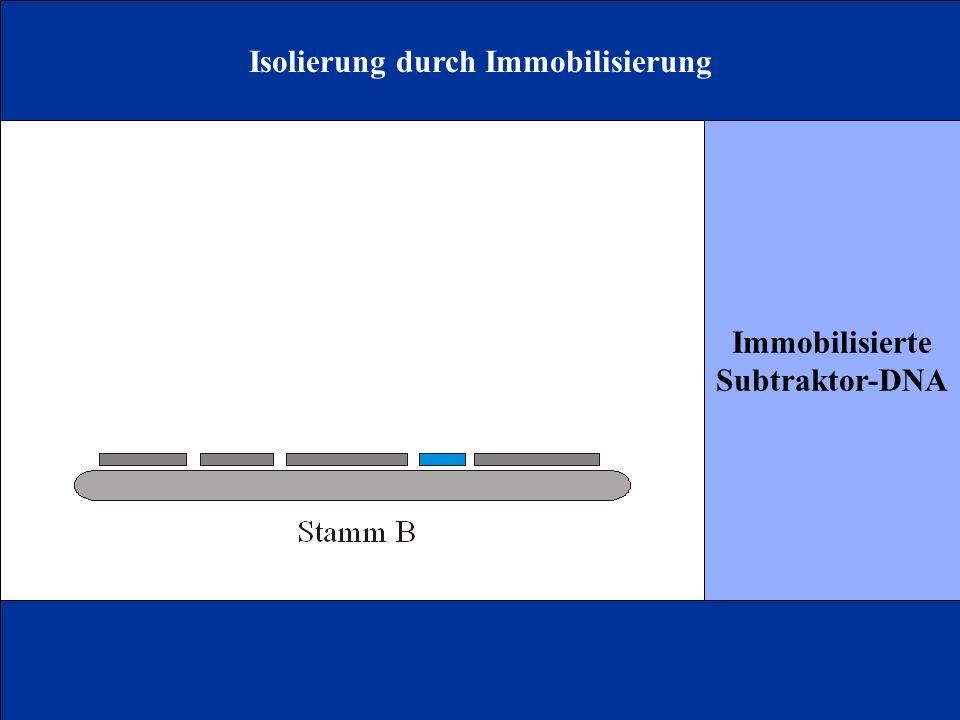 Isolierung durch Immobilisierung Immobilisierte Subtraktor-DNA