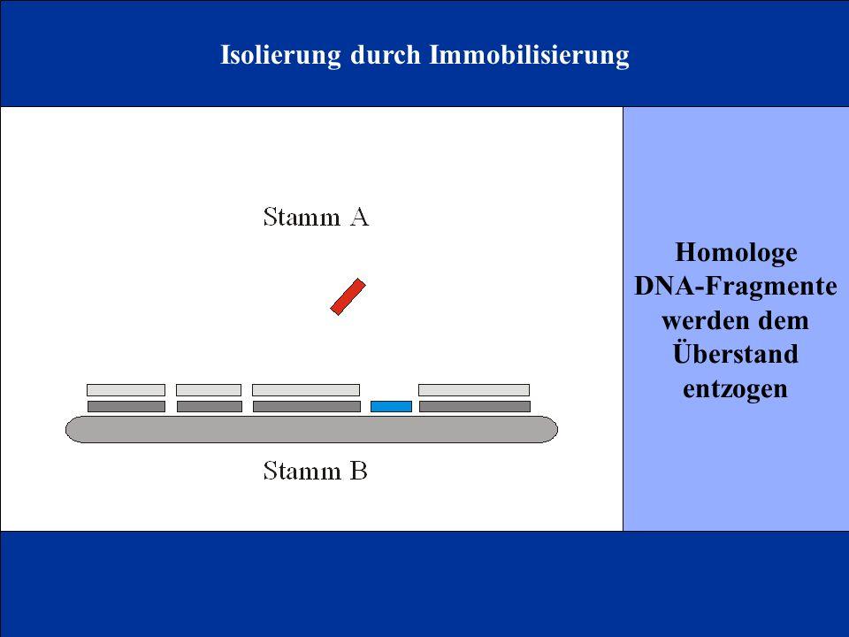Isolierung durch Immobilisierung Homologe DNA-Fragmente werden dem Überstand entzogen