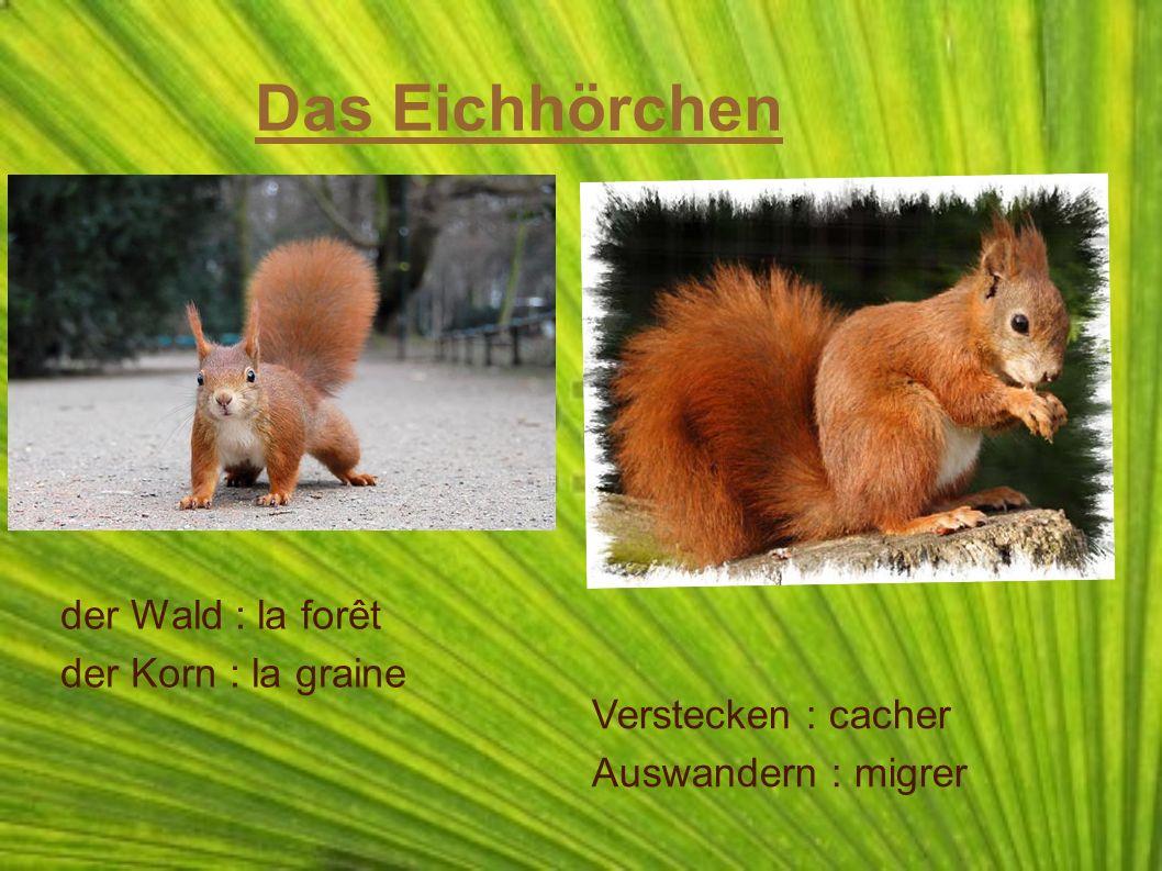 Das Eichhörchen der Wald : la forêt der Korn : la graine Verstecken : cacher Auswandern : migrer