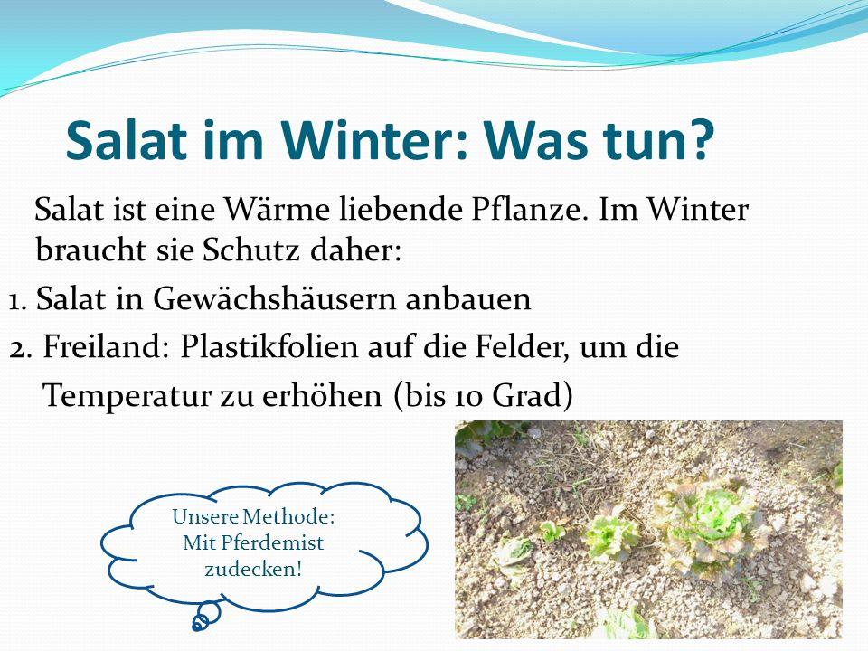Salat im Winter: Was tun? Salat ist eine Wärme liebende Pflanze. Im Winter braucht sie Schutz daher: 1. Salat in Gewächshäusern anbauen 2. Freiland: P