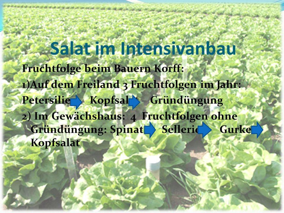 Salat im Intensivanbau Fruchtfolge beim Bauern Korff: 1)Auf dem Freiland 3 Fruchtfolgen im Jahr: Petersilie Kopfsalat Gründüngung 2) Im Gewächshaus: 4