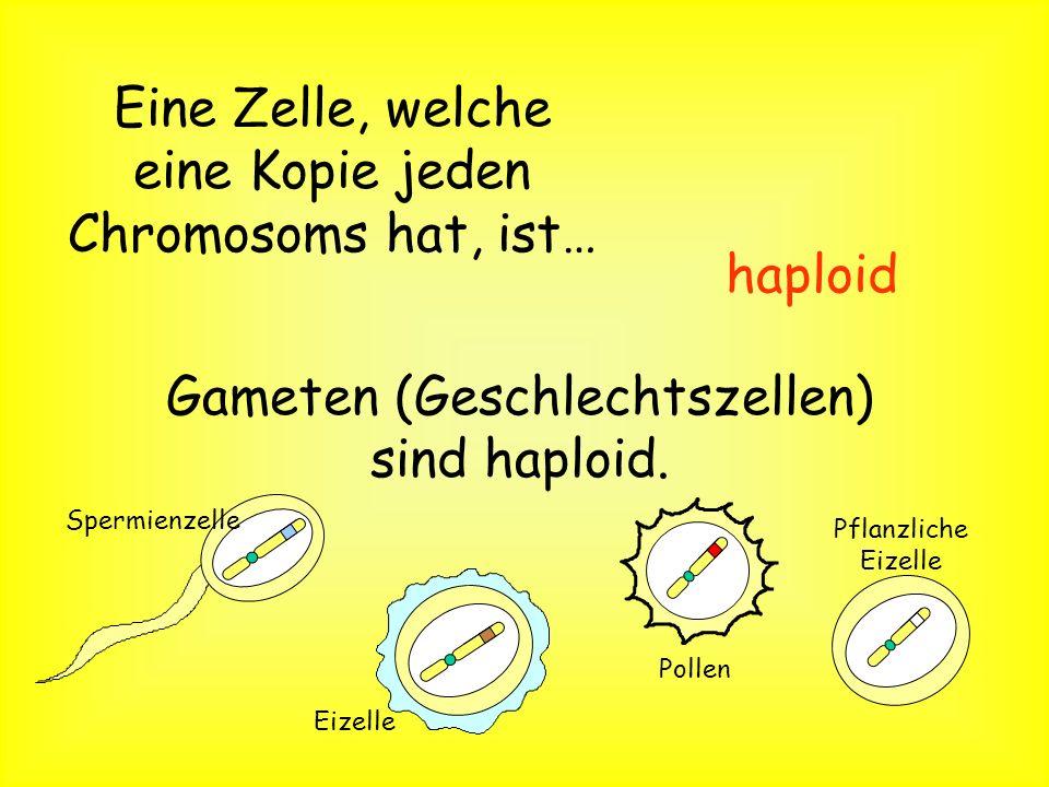 Eine Zelle, welche zwei Kopien des gleichen Chromosoms besitzt, heißt… diploid Körperzellen sind diploid.
