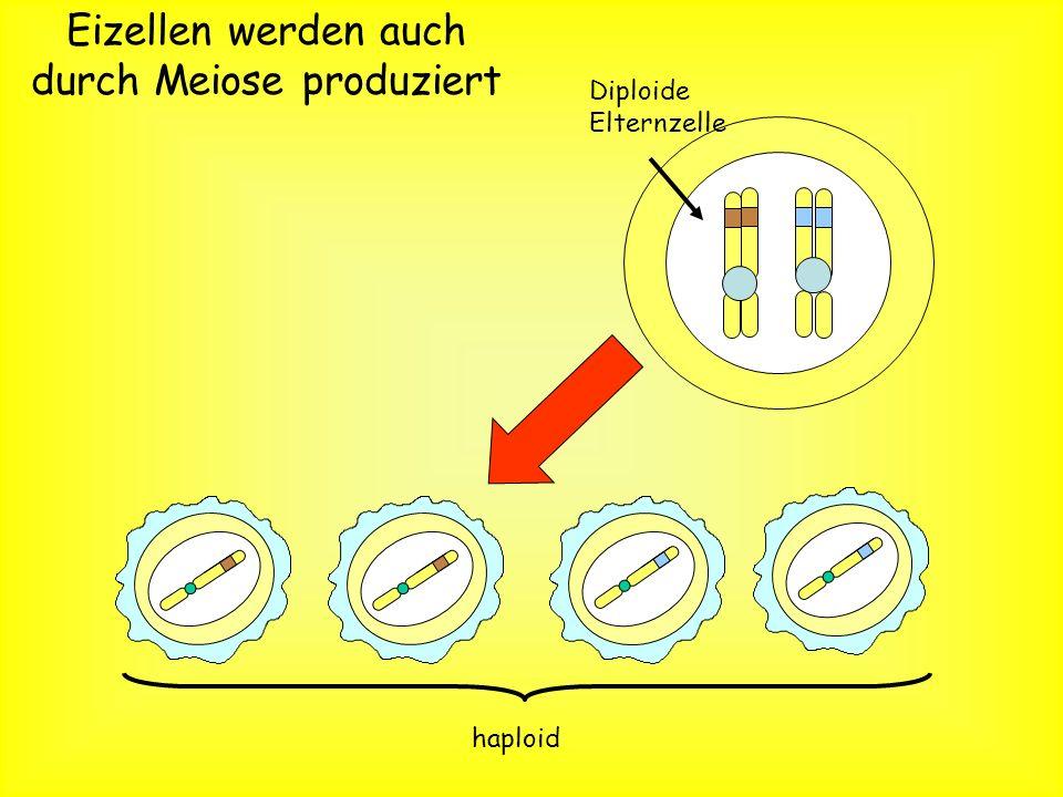 Spermienzellen werden produziert durch… Meiose 4 haploide Tochterzellen werden produziert. Jede haploide Tochterzelle beinhaltet nur eines der zwei Al