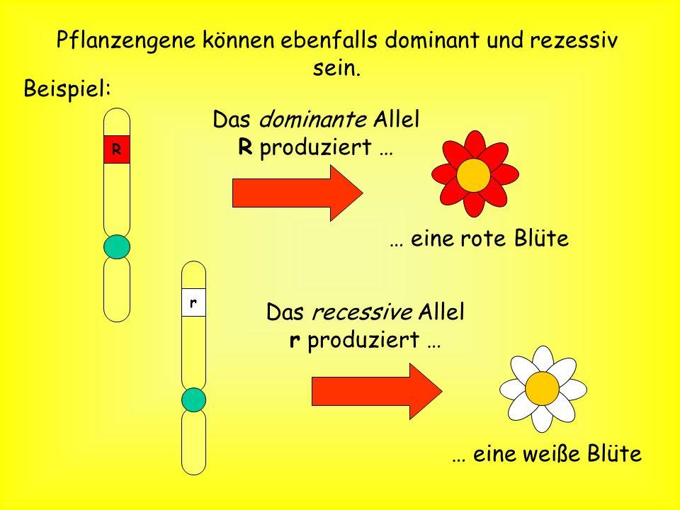 Die gleichen Regeln stimmen für alle Lebewesen! (Pflanzen und Tiere!) Die männliche Gameten bei Pflanzen … Pollen Die weiblichen Gameten sind … pflanz