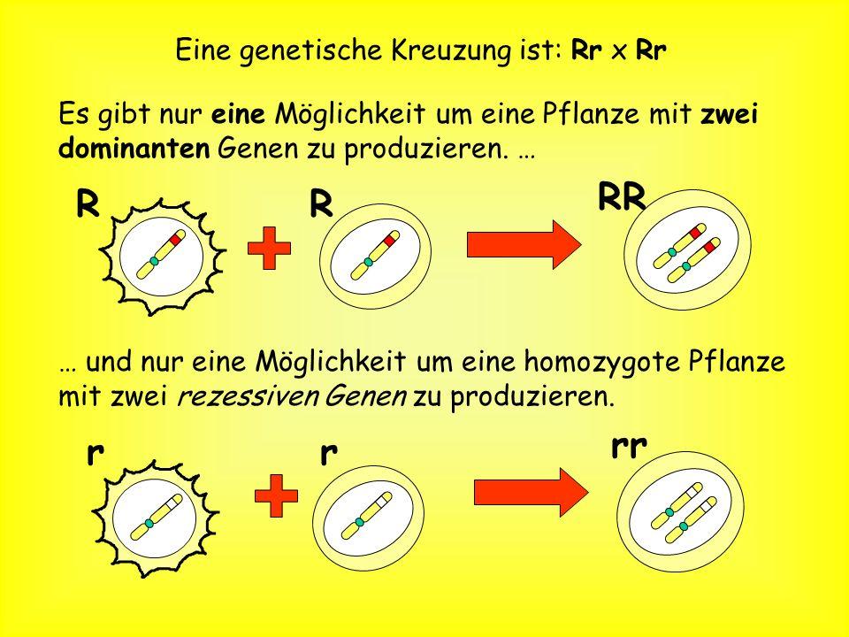 Pflanzengene können ebenfalls dominant und rezessiv sein. … eine rote Blüte r Das recessive Allel r produziert … … eine weiße Blüte R Das dominante Al