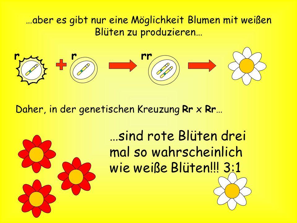 Es gibt drei Wege, eine Pflanze mit roten Blüten zu machen RR RR Rr rR Rr … eine produziert homozygoute Pflanzen… … zwei produzieren heterozygote Pfla