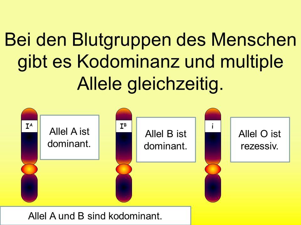 Kodominanz Bei einem Erbgang spricht man von Kodominanz, wenn zwei oder mehr Allele im Phänotyp gleichzeitig feststellbar sind.