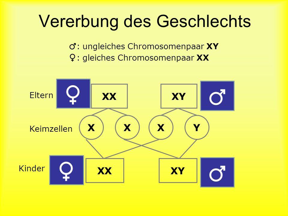 Meiose: 2. Reifeteilung Prophase II Metaphase II Anaphase II Telophase II Trennung der Chromatiden der einzelnen Chromosomen voneinander 4 Zellkerne m