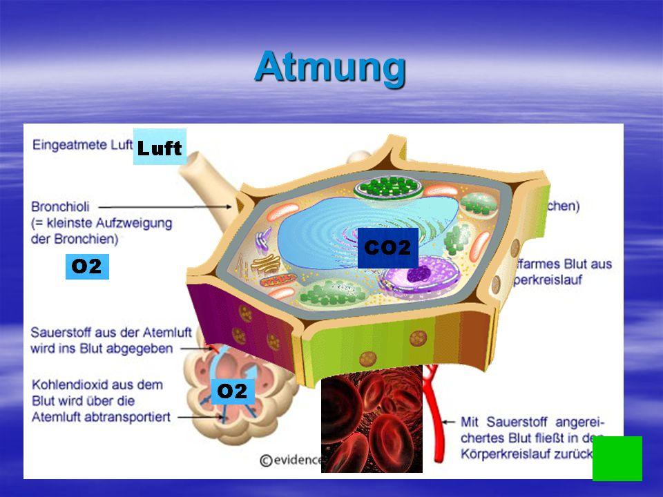 Atmung Luft gelangt ins Lungenbläschen Luft gelangt ins Lungenbläschen O 2 gelangt ins Blut und setzt sich auf rotem Blutkörperchen fest O 2 gelangt ins Blut und setzt sich auf rotem Blutkörperchen fest Es wird in die Zelle transportiert und Zucker wird verbrannt (Atmung).