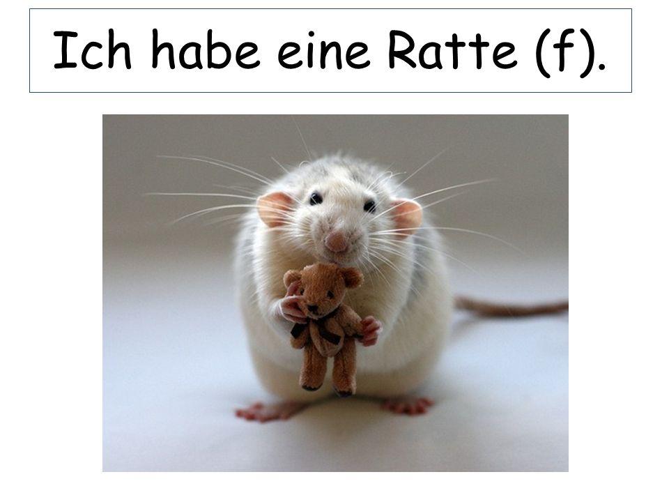 Ich habe eine Ratte (f).