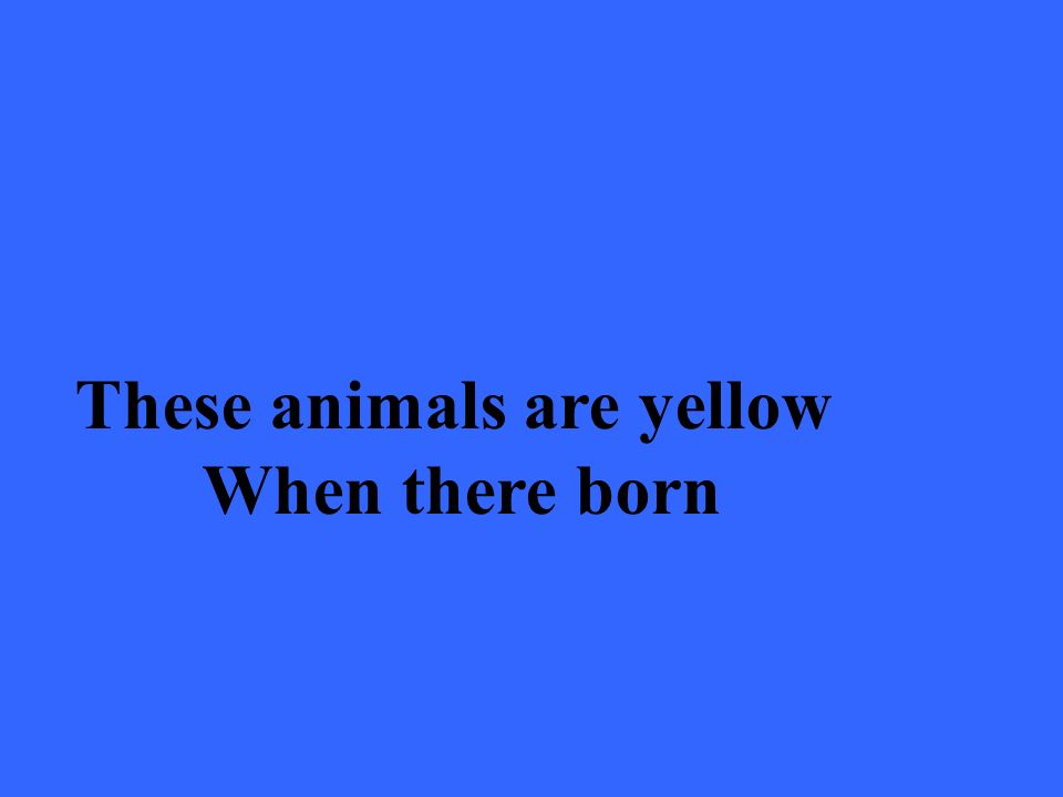 These animals are yellow When there born