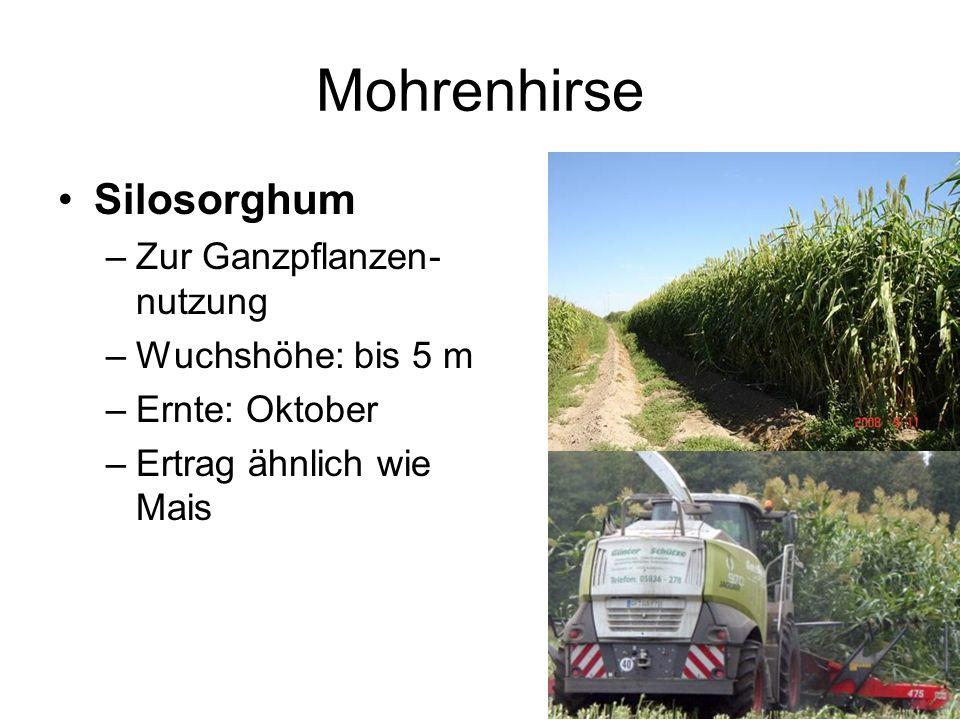 Mohrenhirse Silosorghum –Zur Ganzpflanzen- nutzung –Wuchshöhe: bis 5 m –Ernte: Oktober –Ertrag ähnlich wie Mais