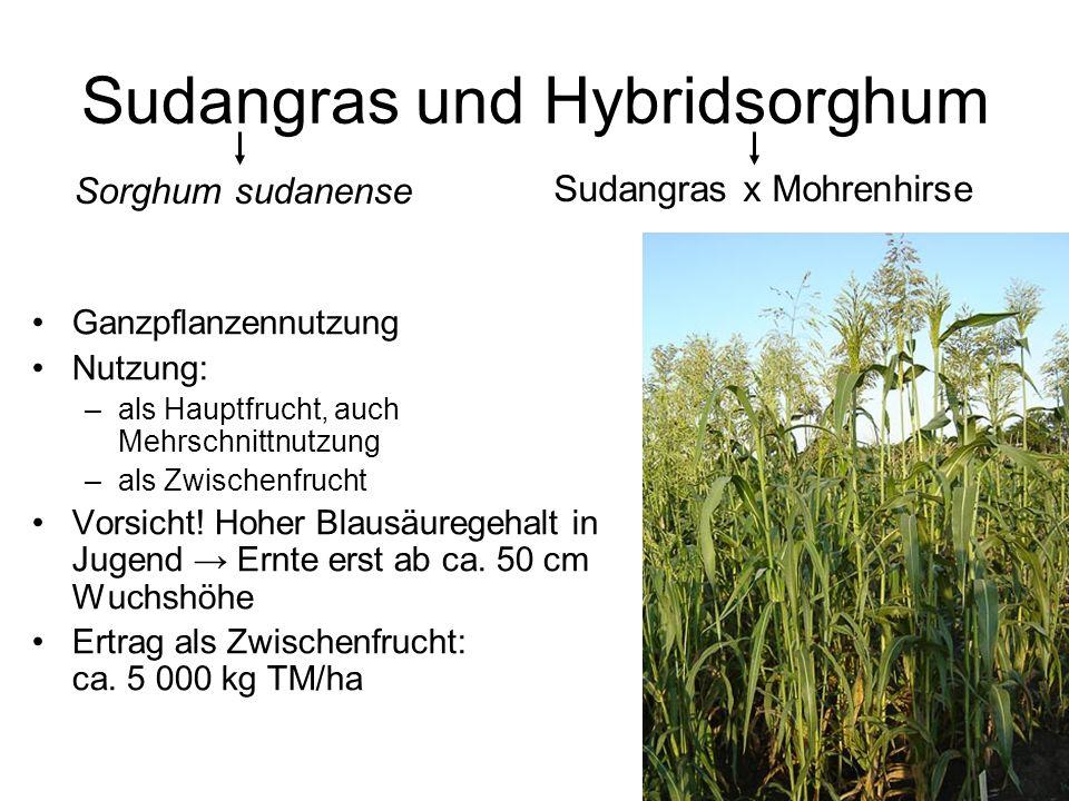 Sudangras und Hybridsorghum Ganzpflanzennutzung Nutzung: –als Hauptfrucht, auch Mehrschnittnutzung –als Zwischenfrucht Vorsicht! Hoher Blausäuregehalt