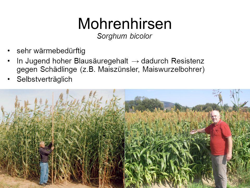 Mohrenhirsen Sorghum bicolor sehr wärmebedürftig In Jugend hoher Blausäuregehalt dadurch Resistenz gegen Schädlinge (z.B. Maiszünsler, Maiswurzelbohre