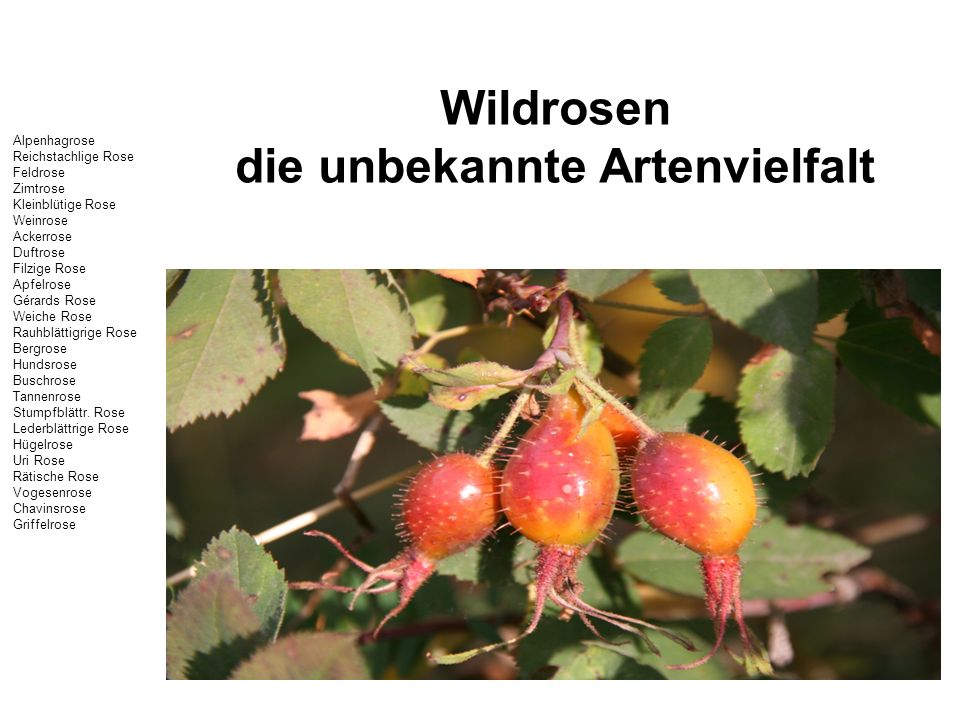 Wildrosen die unbekannte Artenvielfalt Alpenhagrose Reichstachlige Rose Feldrose Zimtrose Kleinblütige Rose Weinrose Ackerrose Duftrose Filzige Rose A