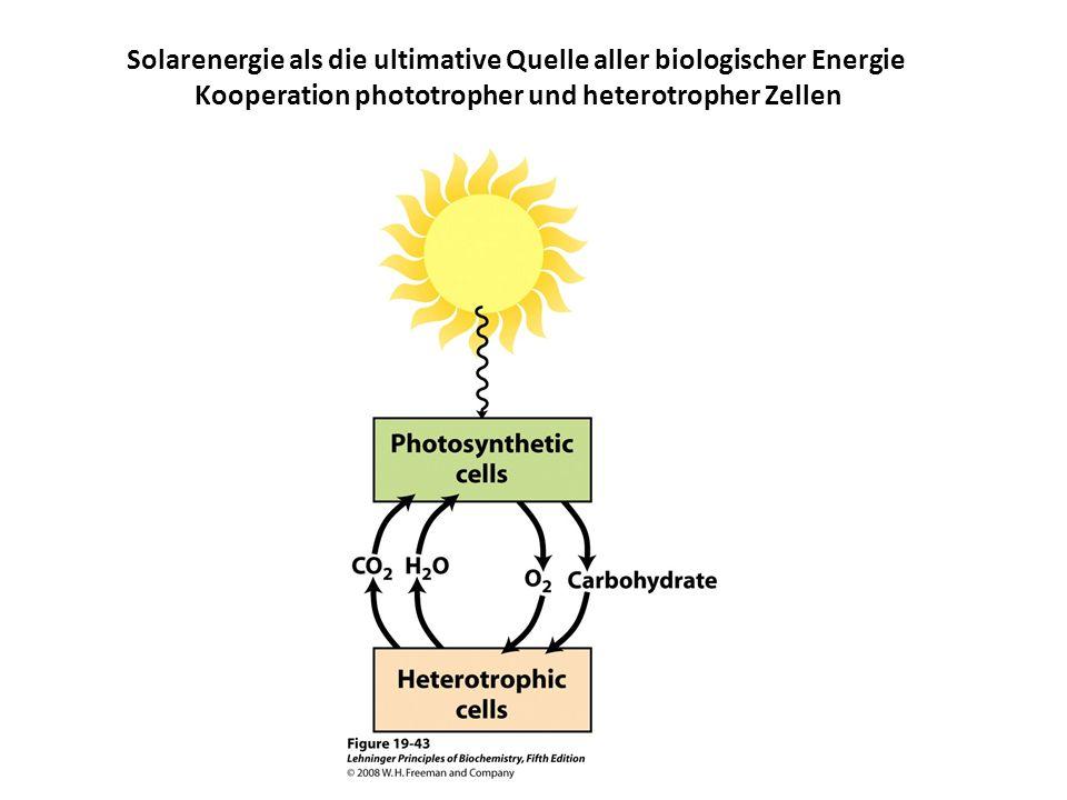 Solarenergie als die ultimative Quelle aller biologischer Energie Kooperation phototropher und heterotropher Zellen