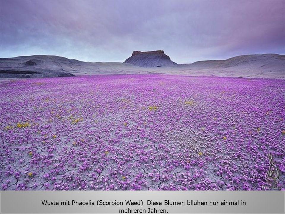 Wüste mit Phacelia (Scorpion Weed). Diese Blumen bllühen nur einmal in mehreren Jahren.