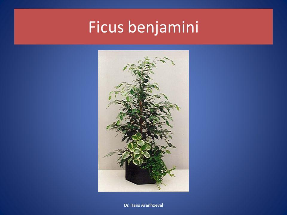 Ficus benjamini Dr. Hans Arenhoevel