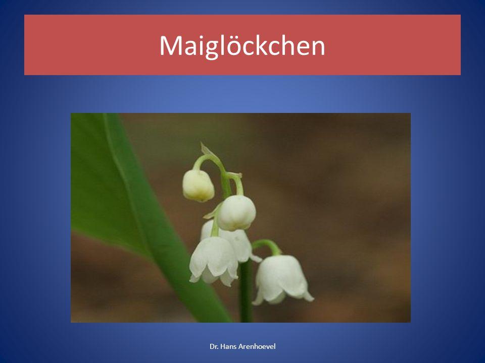 Maiglöckchen Gartenpflanze Giftart: Herzglycoside Symptome: Herzstörungen Sehr giftig / Tod durch Herzstillstand Dr.