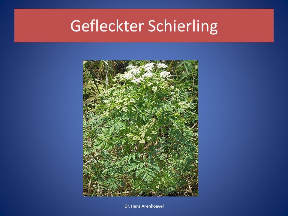 Gefleckter Schierling Symptome: Brechdurchfall, von den Beinen aufsteigende Lähmungen, Tod durch Atemlähmung (Sokrates / Schierlingsbecher) Dr.