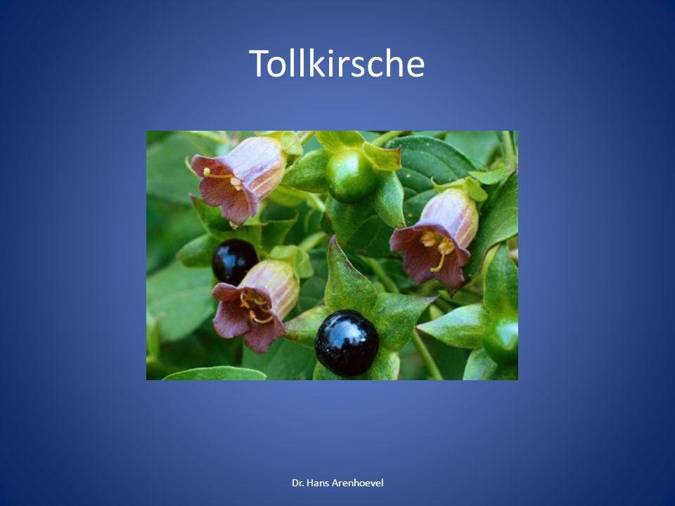 Tollkirsche (Atropa belladonna) 3-5 Beeren sind schon tödlich Wirkstoff: Atropin Symptome : weite Pupillen, Herzrasen, Krämpfe, Anfälle Dr.