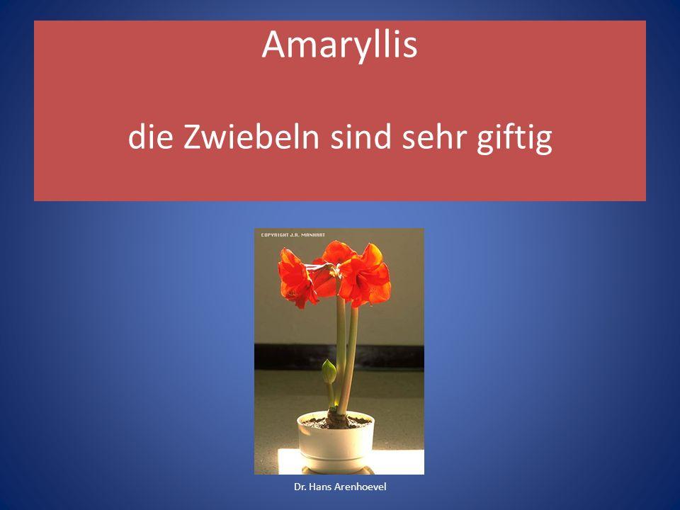 Amaryllis die Zwiebeln sind sehr giftig Dr. Hans Arenhoevel