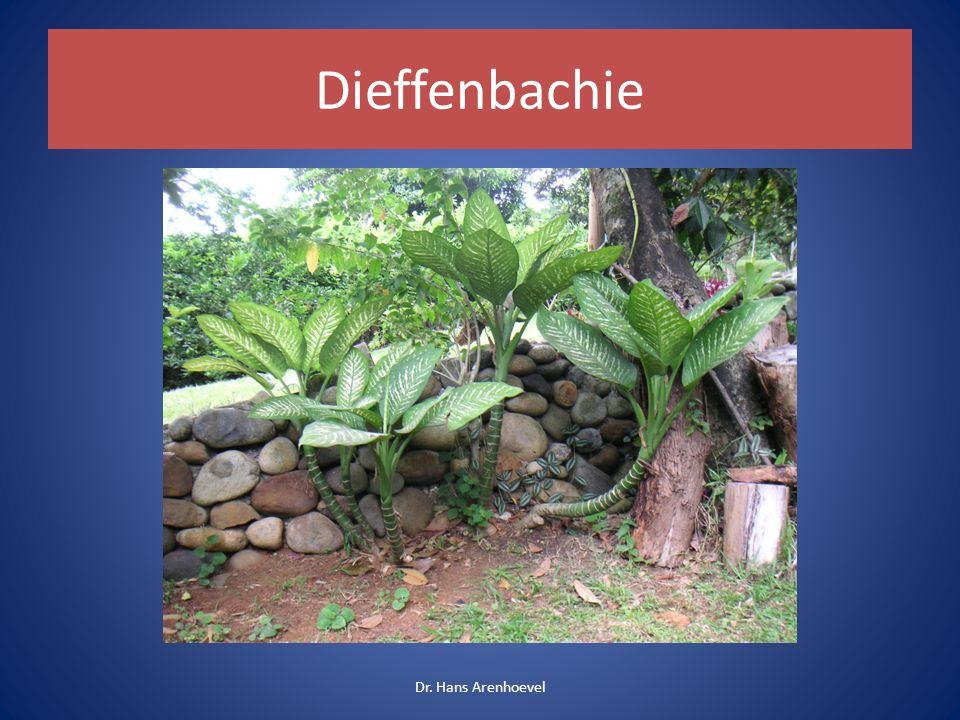 Dieffenbachie Schweigrohr Zimmerpflanze Giftige Bestandteile: Kalziumoxalat in Nadeln.