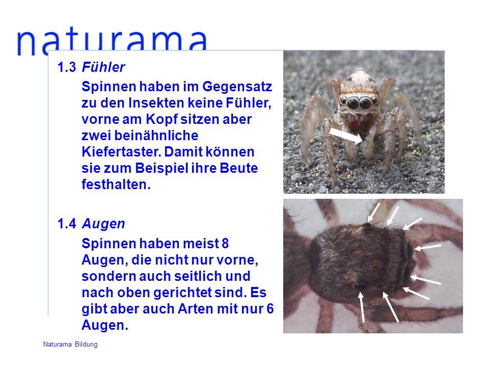 1.3Fühler Spinnen haben im Gegensatz zu den Insekten keine Fühler, vorne am Kopf sitzen aber zwei beinähnliche Kiefertaster.