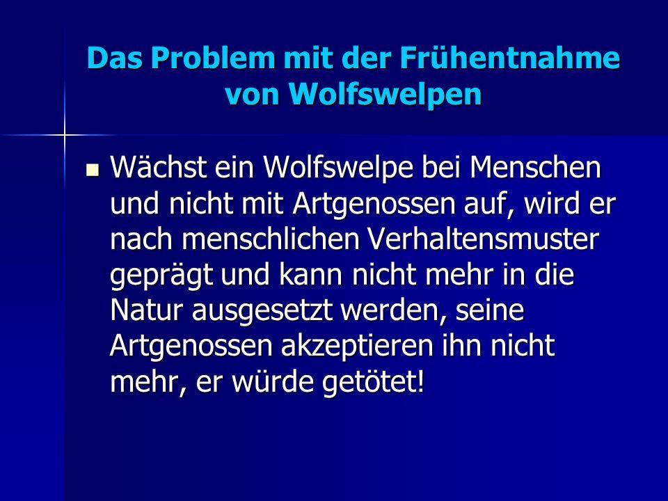 Das Problem mit der Frühentnahme von Wolfswelpen Wächst ein Wolfswelpe bei Menschen und nicht mit Artgenossen auf, wird er nach menschlichen Verhaltensmuster geprägt und kann nicht mehr in die Natur ausgesetzt werden, seine Artgenossen akzeptieren ihn nicht mehr, er würde getötet.