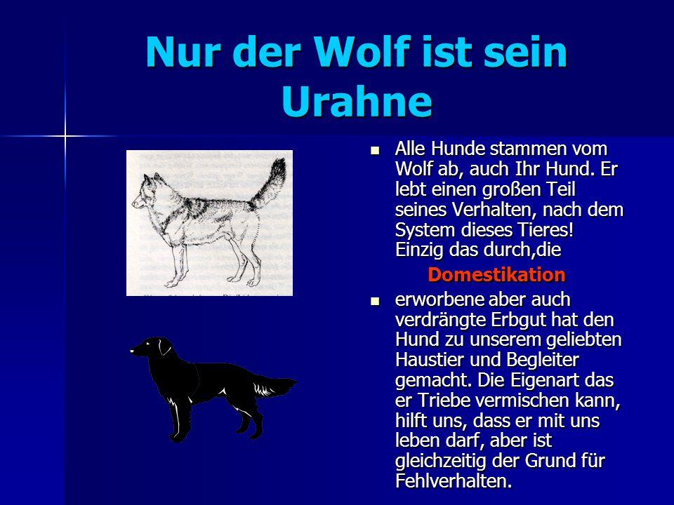 Nur der Wolf ist sein Urahne Alle Hunde stammen vom Wolf ab, auch Ihr Hund.