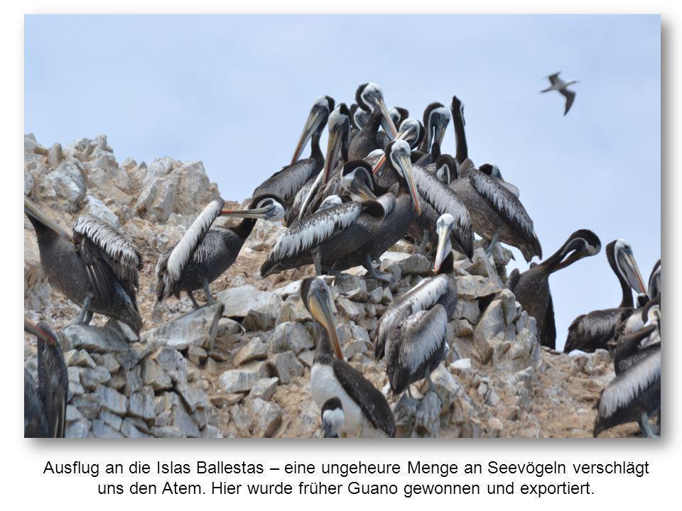 Ausflug an die Islas Ballestas – eine ungeheure Menge an Seevögeln verschlägt uns den Atem. Hier wurde früher Guano gewonnen und exportiert.
