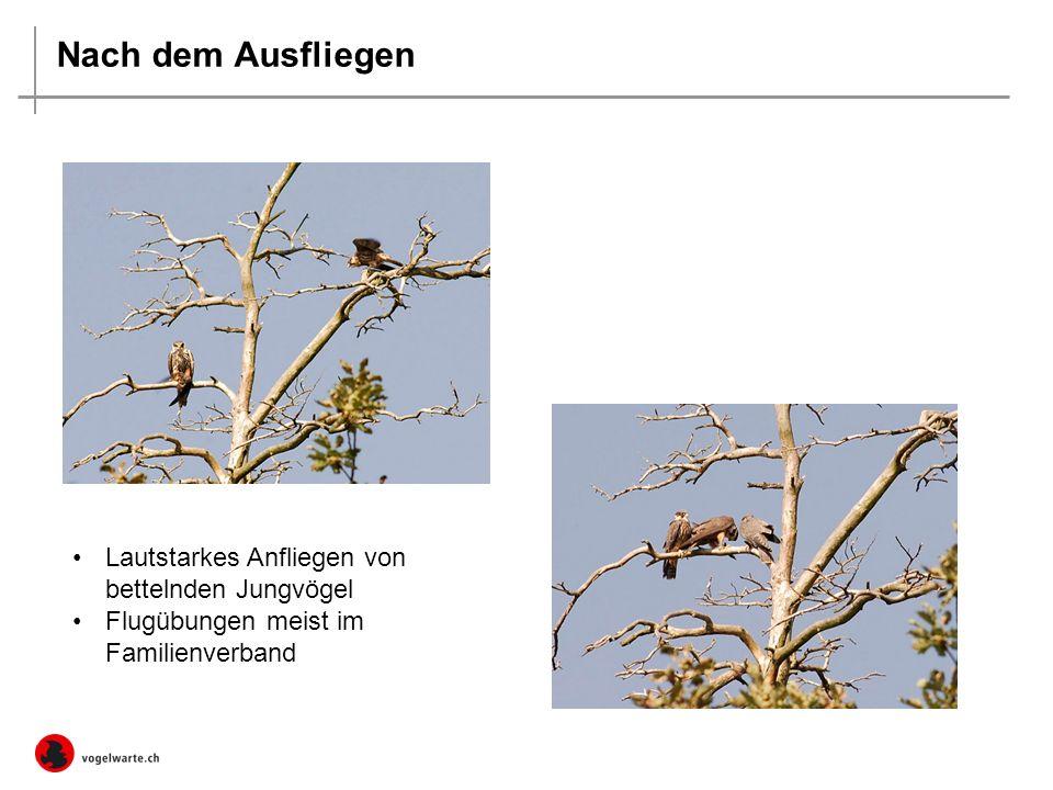 Nach dem Ausfliegen Lautstarkes Anfliegen von bettelnden Jungvögel Flugübungen meist im Familienverband