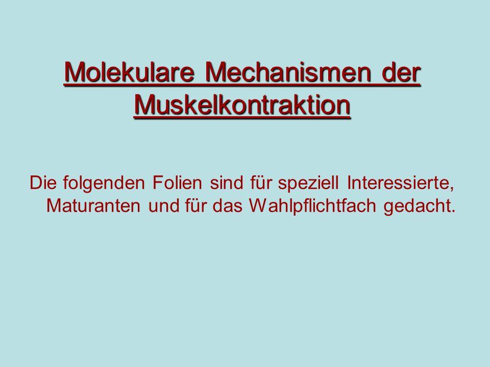 Molekulare Mechanismen der Muskelkontraktion Die folgenden Folien sind für speziell Interessierte, Maturanten und für das Wahlpflichtfach gedacht.