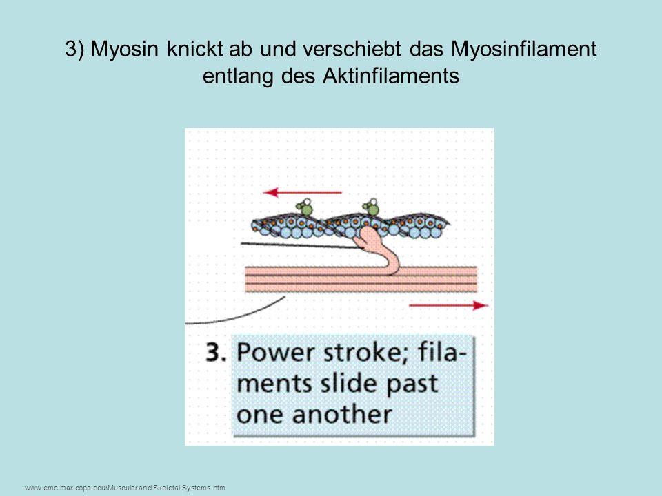 3) Myosin knickt ab und verschiebt das Myosinfilament entlang des Aktinfilaments www.emc.maricopa.edu\Muscular and Skeletal Systems.htm