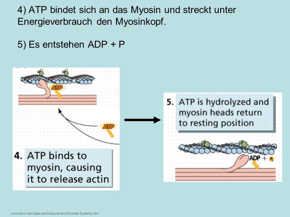 4) ATP bindet sich an das Myosin und streckt unter Energieverbrauch den Myosinkopf. 5) Es entstehen ADP + P www.emc.maricopa.edu\Muscular and Skeletal