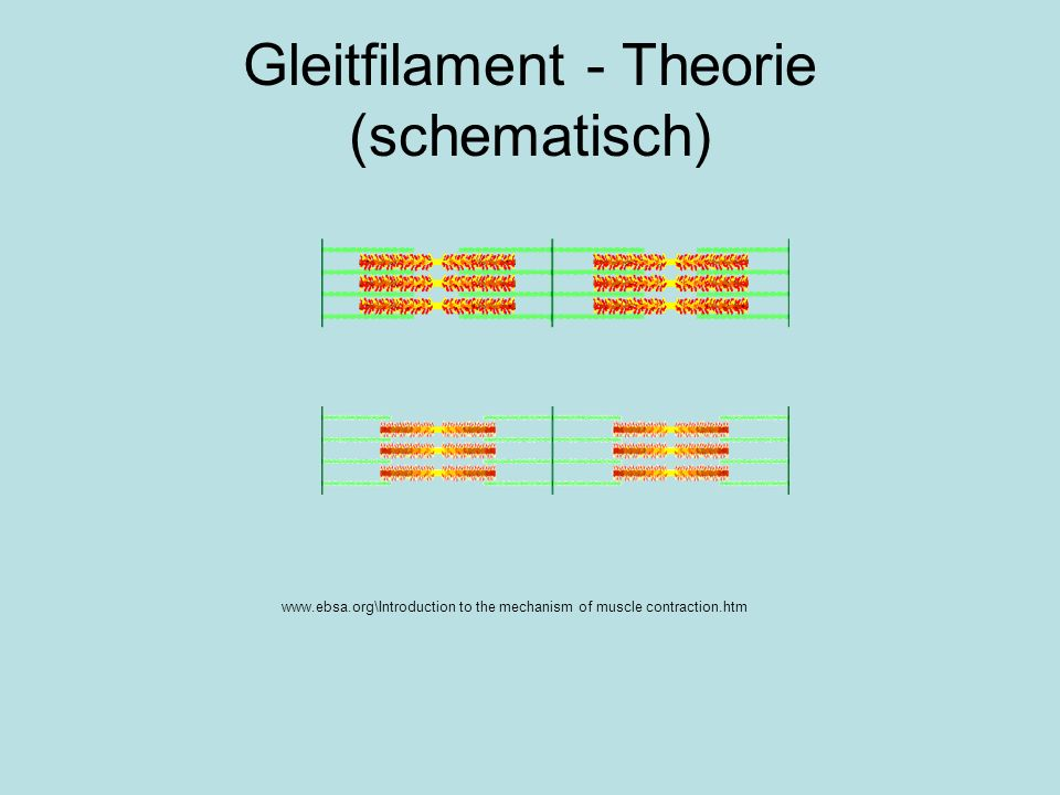 www.ebsa.org\Introduction to the mechanism of muscle contraction.htm Gleitfilament - Theorie (schematisch)