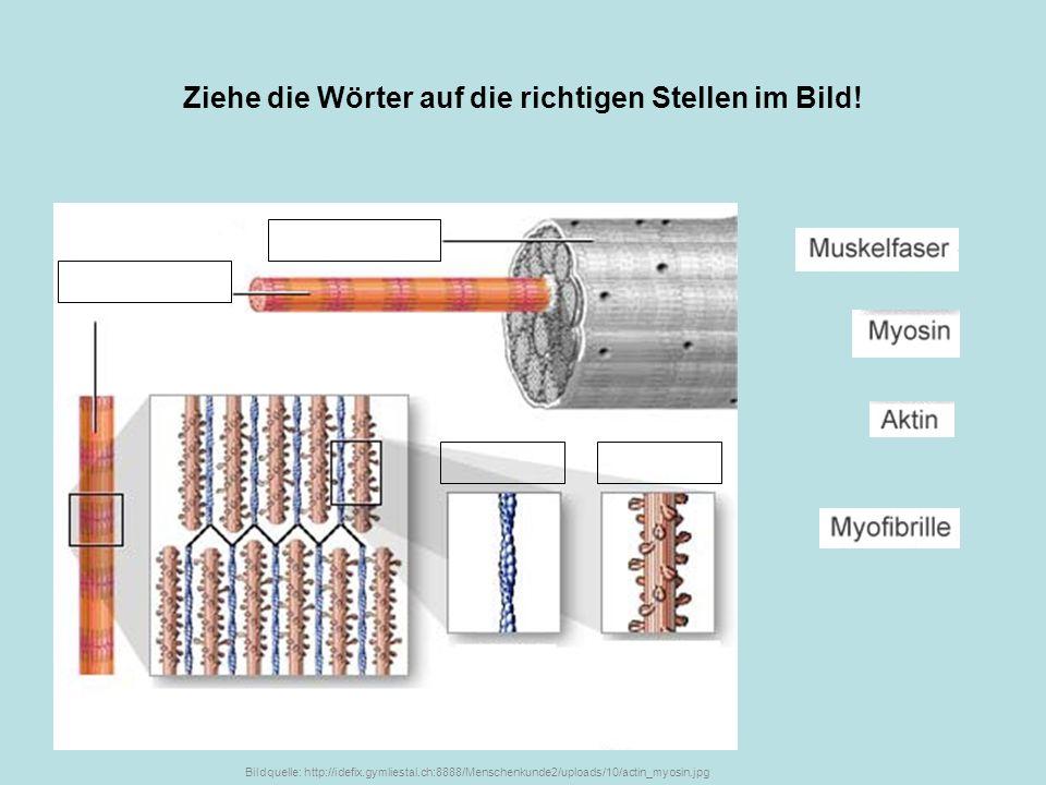 Ziehe die Wörter auf die richtigen Stellen im Bild! Bildquelle: http://idefix.gymliestal.ch:8888/Menschenkunde2/uploads/10/actin_myosin.jpg