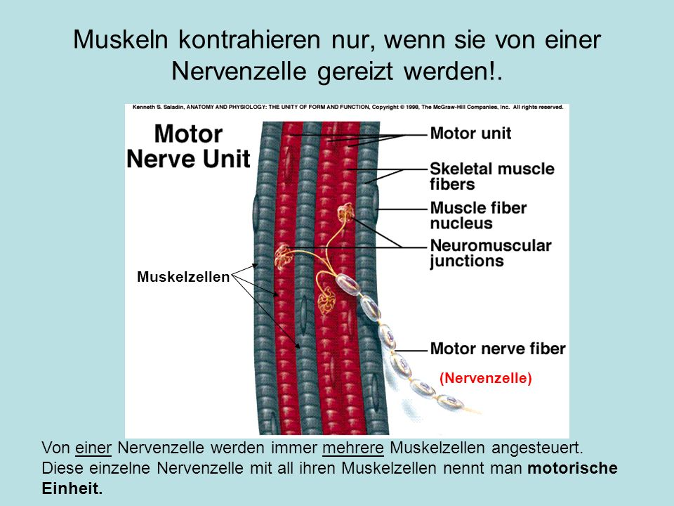 Muskeln kontrahieren nur, wenn sie von einer Nervenzelle gereizt werden!. Von einer Nervenzelle werden immer mehrere Muskelzellen angesteuert. Diese e