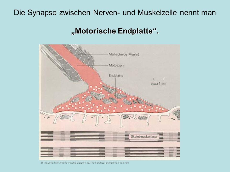 Die Synapse zwischen Nerven- und Muskelzelle nennt man Motorische Endplatte. Bildquelle: http://fachberatung-biologie.de/Themen/neuron/motendplatte.ht