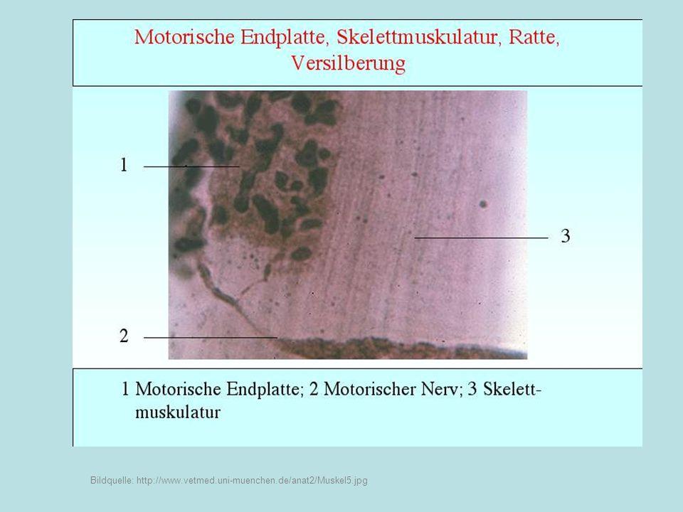 Feinbau der Muskelzelle Muskelfibrille Einstülpungen der Zellmembran T-System Endoplasmatisches Reticulum: Verläuft in Längsrichtung – L-System Zellmembran Bildquelle: http://www.zoology.ubc.ca/~auld/bio350/lectures/skeletal_muscle.html