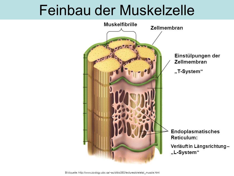 Feinbau der Muskelzelle Muskelfibrille Einstülpungen der Zellmembran T-System Endoplasmatisches Reticulum: Verläuft in Längsrichtung – L-System Zellme