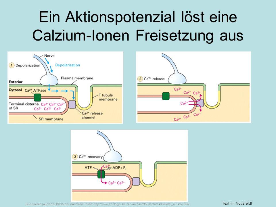 Ein Aktionspotenzial löst eine Calzium-Ionen Freisetzung aus Text im Notizfeld! Bildquellen (auch der Bilder der nächsten Folien: http://www.zoology.u