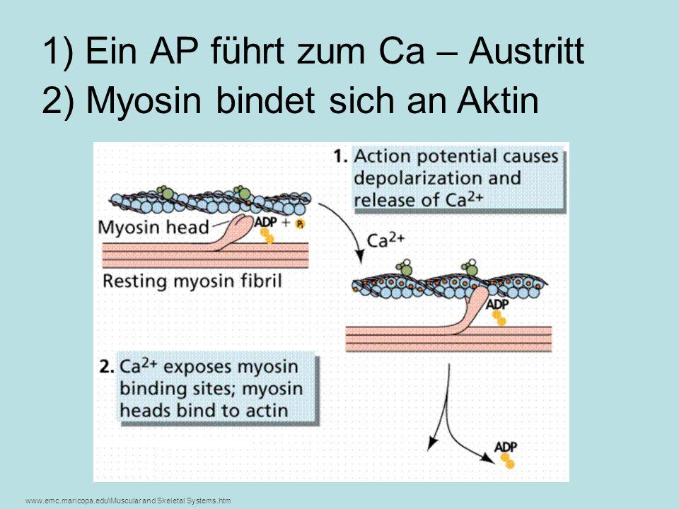 Calzium legt beim Aktinfilament die Bindungsstellen für die Myosinköpfchen frei www.emc.maricopa.edu\Muscular and Skeletal Systems.htm