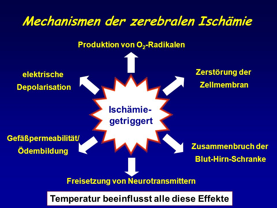 Mechanismen der zerebralen Ischämie Ischämie- getriggert Gefäßpermeabilität/ Ödembildung Zerstörung der Zellmembran Zusammenbruch der Blut-Hirn-Schran