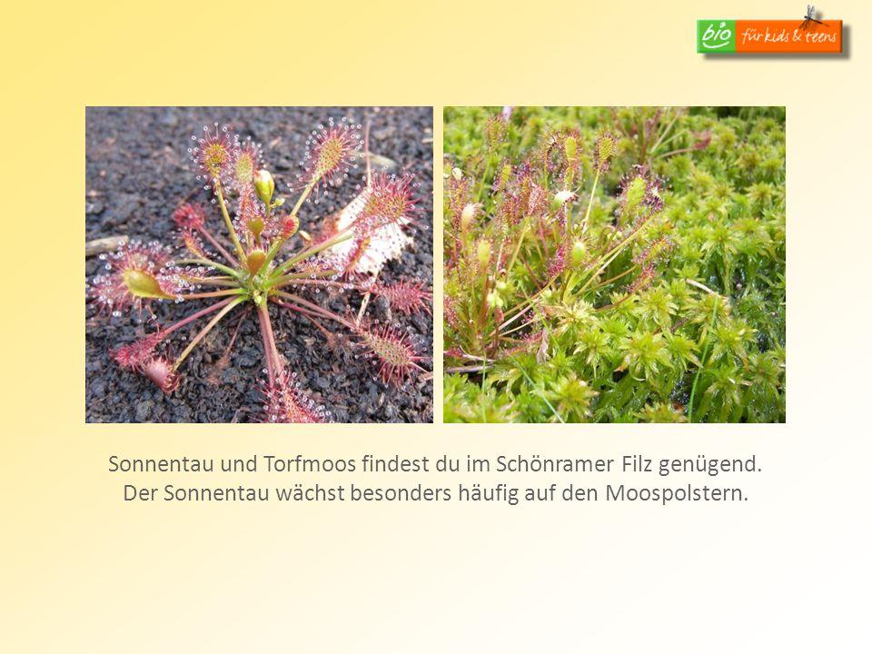 Sonnentau und Torfmoos findest du im Schönramer Filz genügend. Der Sonnentau wächst besonders häufig auf den Moospolstern.