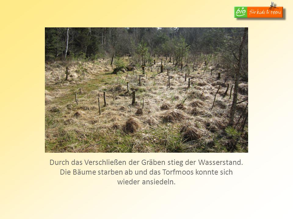 Durch das Verschließen der Gräben stieg der Wasserstand. Die Bäume starben ab und das Torfmoos konnte sich wieder ansiedeln.