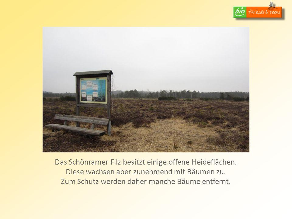 Das Schönramer Filz besitzt einige offene Heideflächen. Diese wachsen aber zunehmend mit Bäumen zu. Zum Schutz werden daher manche Bäume entfernt.