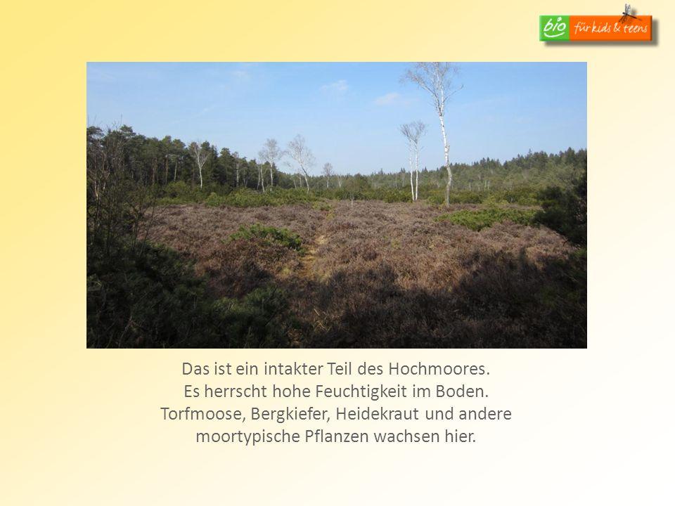 Das ist ein intakter Teil des Hochmoores. Es herrscht hohe Feuchtigkeit im Boden. Torfmoose, Bergkiefer, Heidekraut und andere moortypische Pflanzen w